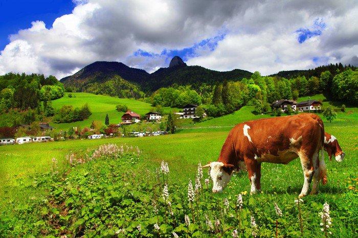 Cuadro en lienzo alpine paisaje verdes prados vacas monta as pixers vivimos para cambiar - Cuadros de vacas ...