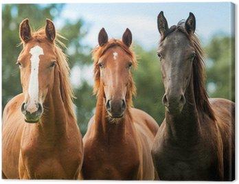 Cuadro en Lienzo Grupo de tres caballos jóvenes en el pasto