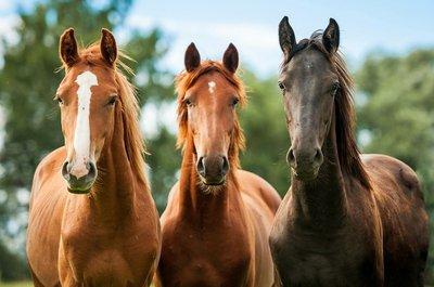 Pixerstick till Allt Grupp av tre unga hästar på bete