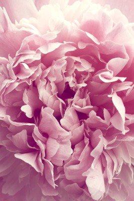 Pixerstick till Allt Pion blomma