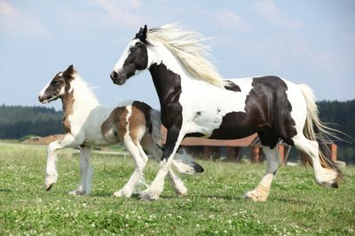 Pixerstick till Allt Porträtt av fin arabisk häst