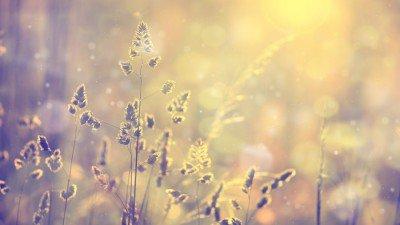 Pixerstick till Allt Retro suddig gräsmatta gräs vid solnedgången med flare. Vintage lila röd och gul orange färg filtereffekt används. Selektiv fokus används.