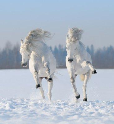 Pixerstick till Allt Två galopperande snövita hästar