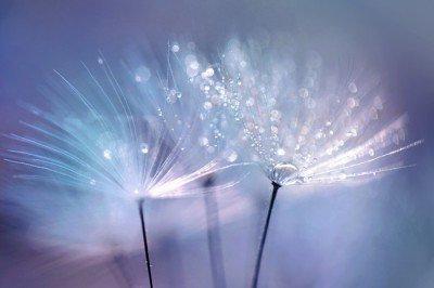 Pixerstick till Allt Vackra daggdroppar på en maskros frö makro. Vacker blå bakgrund. Stor gulddaggdroppar på en fallskärm maskros. Mjuk drömmande anbud konstnärlig bild form.