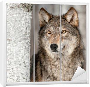 Dolap Çıkartması Grey Wolf (Canis lupus) Yukarı görünüyor