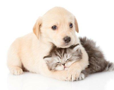 Duvar Çıkartması Ingiliz kedi sarılma golden retriever yavru köpek. yalıtılmış