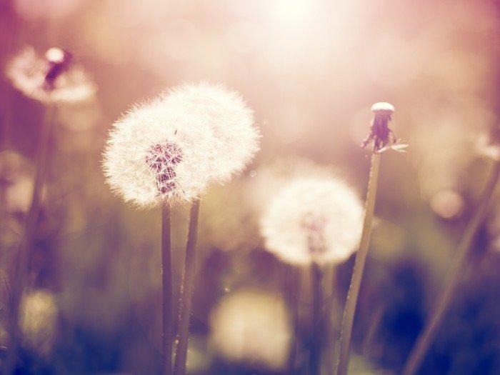 Vinil Duvar Resmi Otlak Vintage karahindiba - Çiçek ve bitkiler