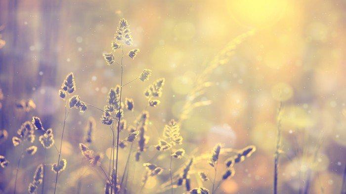 Vinil Duvar Resmi Retro parlama ile günbatımında çim çim bulanık. Vintage mor, kırmızı ve sarı turuncu renk filtresi efekti kullanıldı. Seçmeli odak kullanılır. - Çiçek ve bitkiler