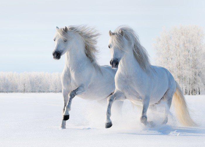 Dwa białe konie galop na polu śnieg