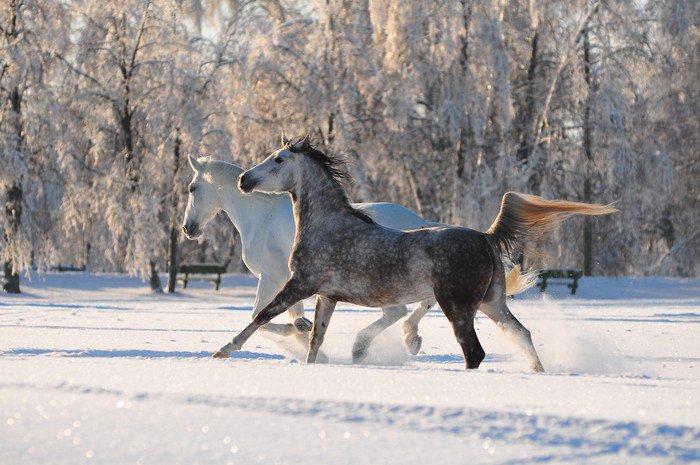 Obraz na Płótnie Dwa wolne konie w polu zimą - Ssaki