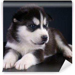 Vinyl Fotobehang Cute Siberische Husky pup