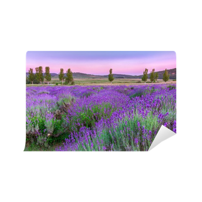 Fotomural Pixerstick Sunset over a summer lavender field in Tihany, Hungary