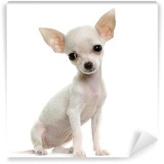 Vinyl-Fototapete Chihuahua
