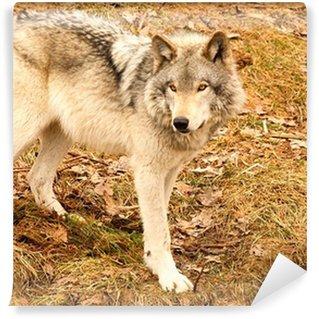 Vinyl-Fototapete Graue Wolf an einem Frühlingstag
