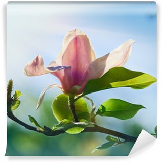 Vinyl-Fototapete Rosa abloom Magnolien blühen im sonnigen Frühlingstag