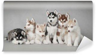 Vinyl-Fototapete Siberian Husky Hundewelpen