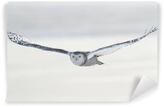 Vinyl-Fototapete Snowy Owl (Bubo scandiacus)