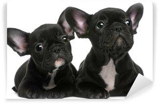 Fototapet av Vinyl Två franska bulldoggar valpar, 8 veckor gamla