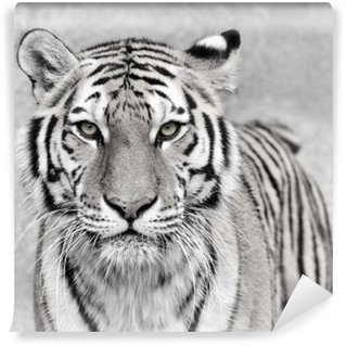 Fototapeta Winylowa Amur Tiger (Panthera tigris altaica)