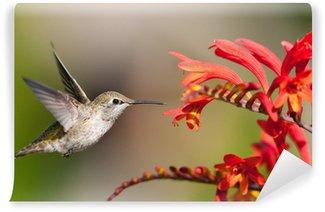 Vinylová Fototapeta Annas Hummingbird eying Crocosmia květiny