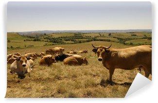 Vinylová Fototapeta Aubrac kráva