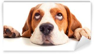 Vinylová Fototapeta Beagle hlava izolovaných na bílém