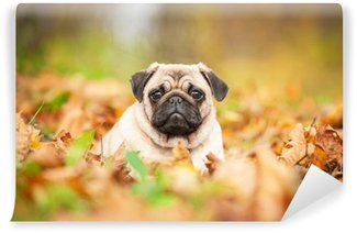 Vinylová Fototapeta Béžový mops pes leží na listech na podzim