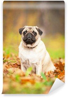 Vinylová Fototapeta Béžový mops pes sedí na listech na podzim
