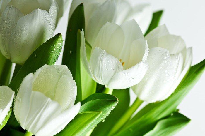 Fototapeta Vinylowa Białe tulipany - Tematy