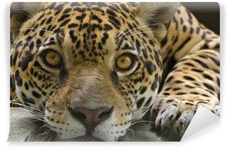 Vinylová Fototapeta Big cat jaguar při pohledu na fotoaparát