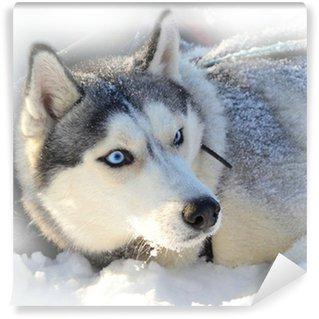 Vinylová Fototapeta Blue-eyed sibiřský husky pohřben ve sněhu