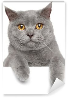 Vinylová Fototapeta Britská modrá kočka na bílém banner