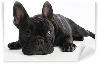 Vinylová Fototapeta Bulldogge