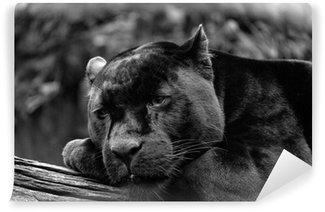 Vinylová Fototapeta Černá jaguar