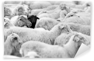 Vinylová Fototapeta Černá ovce
