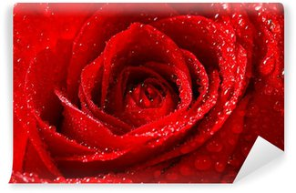 Vinylová Fototapeta Červená růže s kapkami rosy