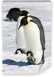 Vinylová Fototapeta Císař tučňáci na mořském ledu v Weddell moře, Antarktida