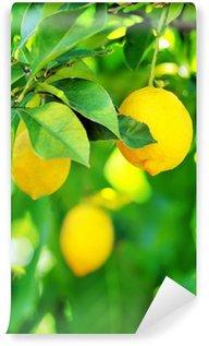 Vinylová Fototapeta Citrony visí na stromě