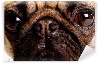 Vinylová Fototapeta Close Up Pug