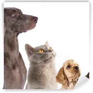 Fototapeta Winylowa Cocker Spaniel szczeniak i kot brytyjski