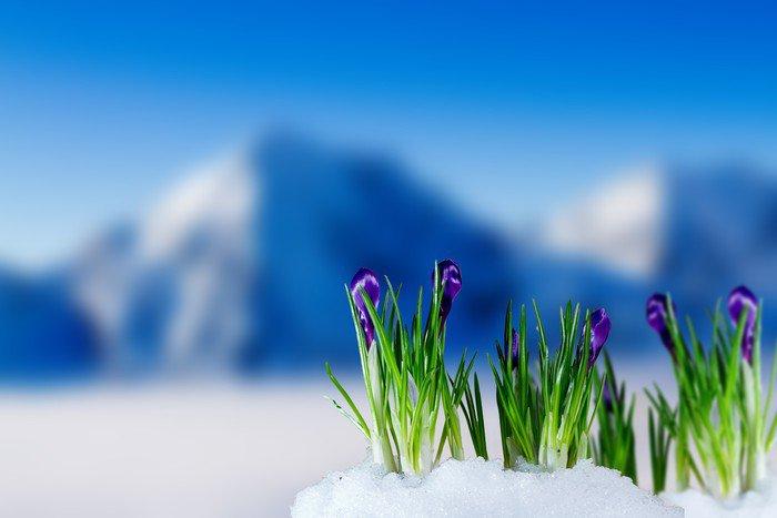 Fototapeta Vinylowa Crocus kwiaty w śniegu - Pory roku