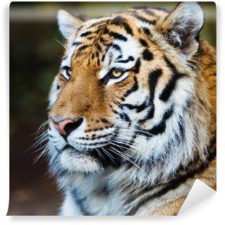 Vinylová Fototapeta Detailní záběr na sibiřského tygra také vědět, jak Amur tygr (Panthera ti