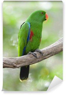 Vinylová Fototapeta Eclectus papoušek Mužský zelený pták, Indonésie