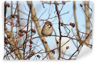 Fototapeta Winylowa Eurasian Mazurek na gałęzi dzikiej róży - zima