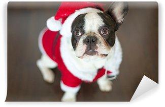 Vinylová Fototapeta Francouzský buldoček oblečený v kostýmu santa na vánoce