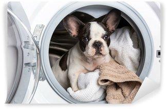 Vinylová Fototapeta Francouzský buldoček štěně uvnitř pračky