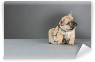 Vinylová Fototapeta Francouzský buldoček štěně