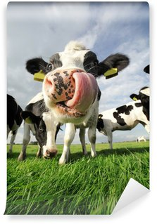 Vinylová Fototapeta Funny kráva