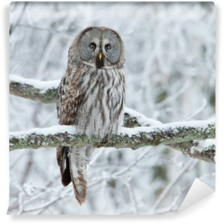 Fototapeta Vinylowa Great Grey Owl (Strix nebulosa) siedzący na drzewie