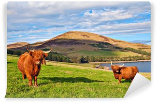 Vinylová Fototapeta Highland angus kráva